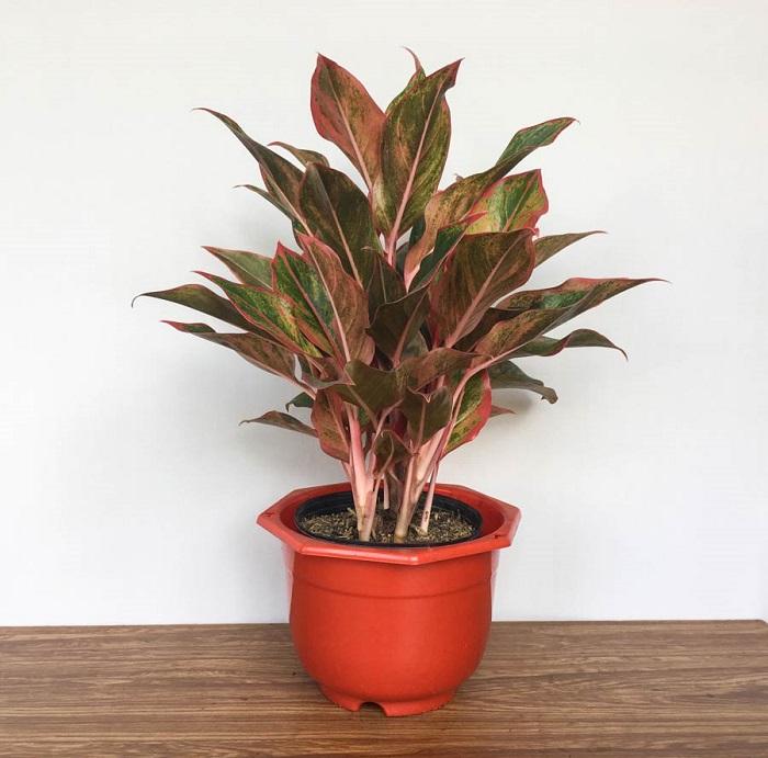 Top 7 loại cây cảnh ưa bóng trồng trong nhà